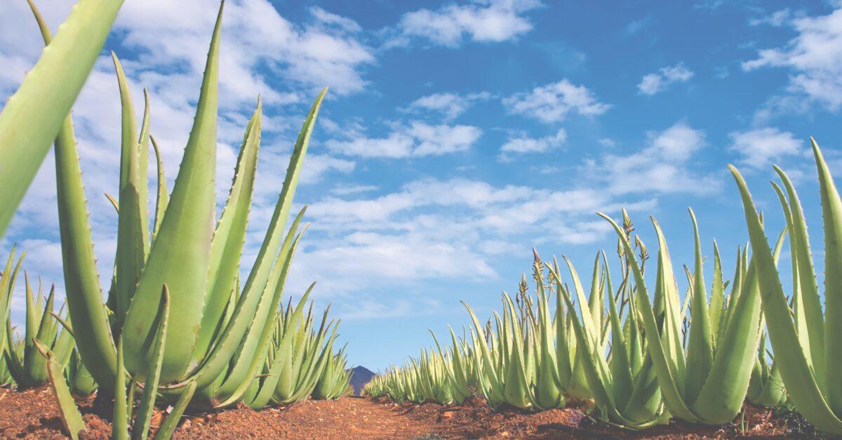 Aloe Vera: die heilende Kraft des Multitalents