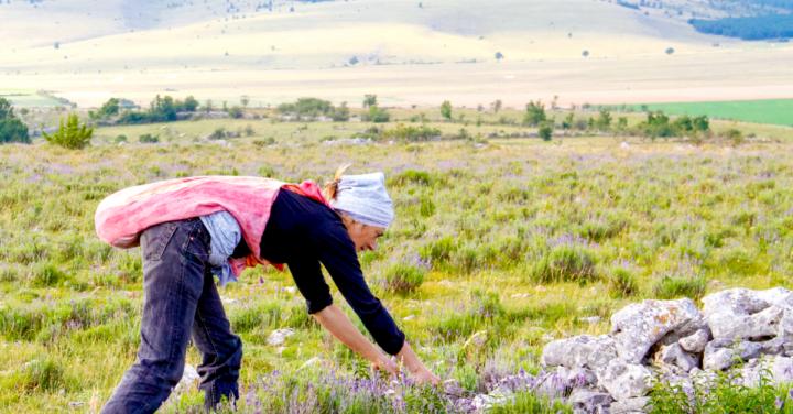 Wilder Berglavendel – der lila Alleskönner