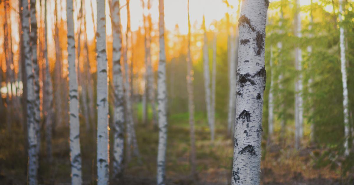 Birkensaft – Detox für Haut und Bindegewebe