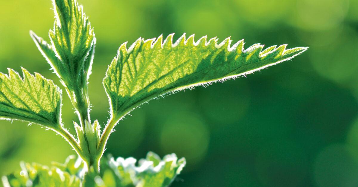 Brennnessel – die unterschätzte Heilpflanze