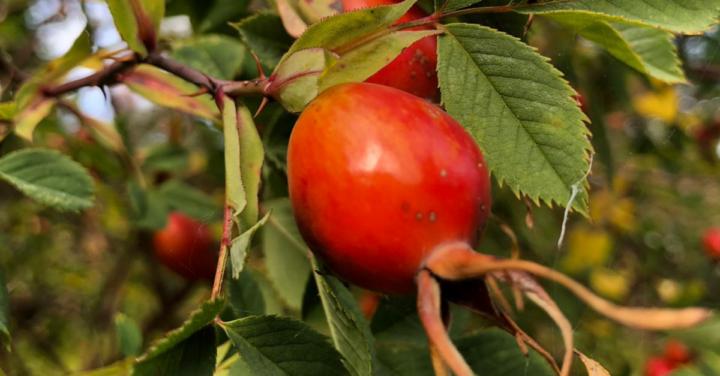 Hagebutte – Heilende Winterfrucht und Vitamin C Bombe in einem