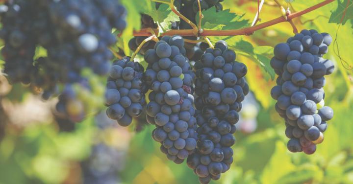 Wie ein Glässchen Rotwein dank OPC die Gesundheit schützt