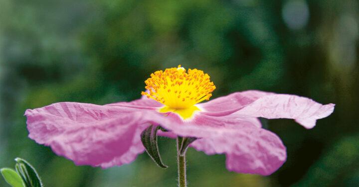 Zistrose: Der natürliche Schutzschirm in der kalten Jahreszeit