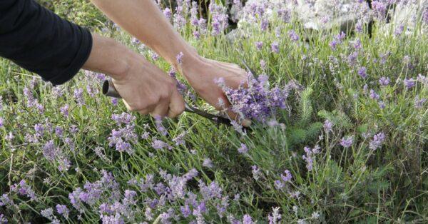 Lavendel: Balance für Körper und Geist.