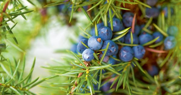 Wacholder: Knospen und Beeren mit reinigender Kraft